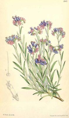 3376 Lithospermum petraeum A. DC. / Curtis's Botanical Magazine, vol. 97 [ser. 3, vol. 27]: t. 5942 (1871) [W.H. Fitch]