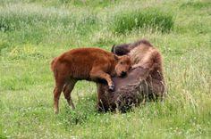 baby bison hug
