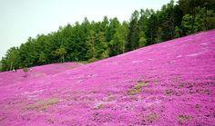 Pink Garden in Hokkaido, JAPAN : Natures Colors845 x 501 | 156.2 KB | forum.xcitefun.net