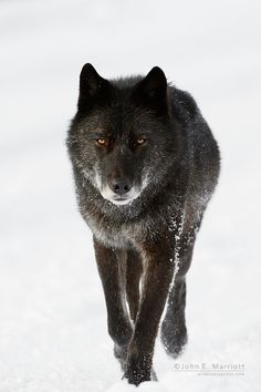 Wild black wolf travelling on a road during winter in Banff National Park, Alberta, Canada ~ (c) John E. Marriott*