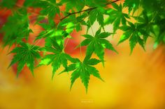 Maple leaves become red or yellow. But they are still green. Maybe they still have a lot of thing to do.