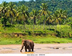 asian forests elephant - Google 検索