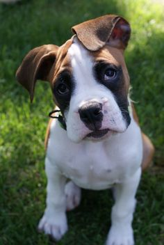 Boxer Puppy oh my gosh I want him!