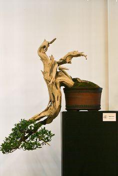 Conocarpus erectus???, need Viagra?