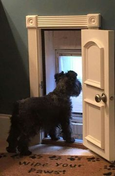 "Bailey Marie wishing the rain would stop so she can use her new dog door,"" writes I Love Schnauzers"