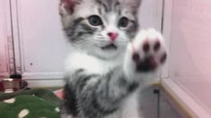 Funny Gifs High five human. Funny Cat Videos, Funny Cats, Funny Animals, Cute Animals, High Five, Tumblr, Watch V, Cat Gif, Cat Memes
