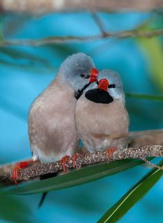 'Love is in the air' Long Tailled Finch caught in a kiss