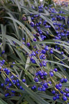 Dianella tasmanica - Flax Lily