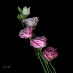 WHITE to VIEUX ROSE… Lysianthus by Magda Indigo on 500px