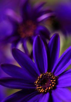 ~~Purpleicious Fantasies | Florist's Cineraria, Cineraria (Pericallis) | by AnyMotion~~