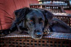 "Photo ""Juno"" by Labrador Retriever, My Photos, Dogs, Animals, Labrador Retrievers, Animales, Animaux, Pet Dogs, Doggies"