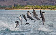Do not disturb – study shows Hawaii's spinner dolphins need ...