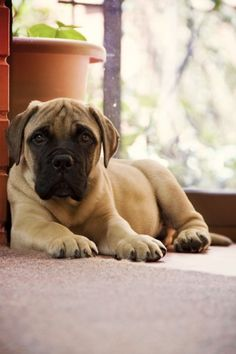 Bullmastiff..i actually really want this if i get a big dog someday