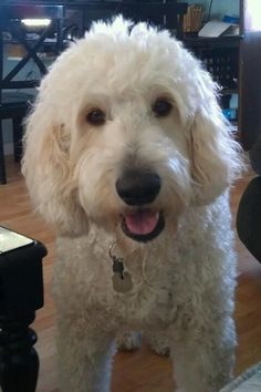 Cutest Golden Doodle ever!! My sweet dog Finn.