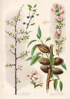 Vintage Bilder - Mandelbaum, Schwarzdorn und Hauhechel - ein Designerstück von ART11 bei DaWanda