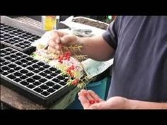 How to collect seeds for growing asparagus; get professional tips and advice from an expert on growing your own fruits and vegetables in this free gardening . Perennial Vegetables, Growing Vegetables, Growing Plants, Asparagus Seeds, Grow Asparagus, Garden Seeds, Companion Planting, Lawn And Garden, Sustainable Living