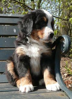 Bernese Mountain Dog puppy #puppy #cute #dog