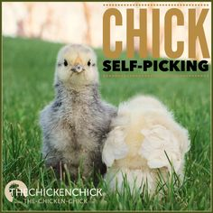 Chick Picking Causes, Prevention & Solutions
