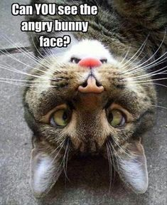 Can you see the angry bunny face NOW? Remember t… - Humor quotes Funny Animal Memes, Cute Funny Animals, Cat Memes, Funny Cute, Cute Cats, Animal Humor, Funny Humor, Adorable Kittens, Funny Cat Photos