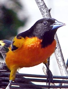 Oriole~cl - Ravens Win on 1/27/2013 -- even the Orioles are happy!