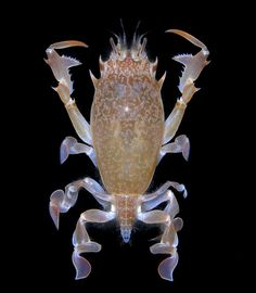 Deep-water frog crab (Raninoides sp, Raninidae) from Las Perlas Islands, Panama