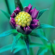flower, flowering plant, plant, freshness, beauty in nature, vulnerability, close-up, fragility, growth, petal, inflorescence, flower head, nature, leaf, no people, plant part, focus on foreground, day, bud, purple, sepal