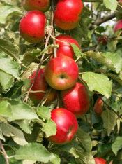 Apple Trees Fruit, Picture of a Red Apple Tree Fruit