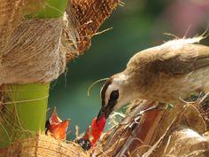 Bulbul Bird Bird, Yellow, Animals, Animales, Animaux, Birds, Animal, Animais