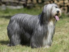 Bearded collie photo | photo d un chien de race bearded collie credits photo callalloo candcy ...