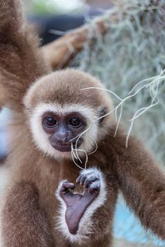 The baby of white-Handed gibbon playing with branch by kajornyot krunkitsatien… Beautiful Creatures, Animals Beautiful, Los Primates, Baby Animals, Cute Animals, Monkey See Monkey Do, Slow Loris, Power Animal, Baboon