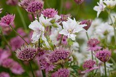 "Plant Combinations: Greater Masterwort ""Roma"" (Astrantia Major) with Geranium Pratense ""Double Jewel"" ... can hide dying allium foliage"