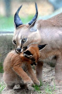 """The caracal is a medium sized cat which it spread in West Asia, South Asia, and Africa. The word Caracal is from Turkey """"Karakulak"""" which means """"Black Ears"""". Here is all about caracal as a pet. Baby Caracal, Caracal Kittens, Cats And Kittens, Large Animals, Animals And Pets, Baby Animals, Cute Animals, Lynx, Beautiful Cats"""