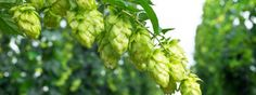 Fresh hops...different ways it can help you