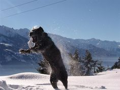 Let it Snow! Cane Corso Mastiff, Cane Corso Italian Mastiff, Cane Corso Dog, Beautiful Dog Breeds, Beautiful Dogs, Dressage, Black Pitbull, Presa Canario, Education Canine