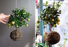 vertical garden with lemon trees