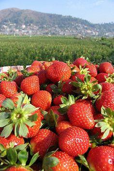 Fresh Strawberries from Baguio City Philippines ~ Friss eper, Baguio City Fülöpszigetekről ~ photo by Joe Alvez Baguio Philippines, Philippines Vacation, Visit Philippines, Baguio City, Quezon City, Trinidad, Strawberry Farm, Strawberry Picking, Strawberry Fields