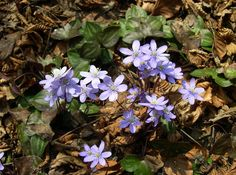 JPG--Hepatica or is a genus of herbaceous perennials in the buttercup family, native to central and northern Europe, Asia and eastern North America. Some botanists include Hepatica within a wider interpretation of Anemone. Shade Garden, Garden Plants, Anemone Hepatica, Anemones, Porto Rico, Herbaceous Perennials, Plant Species, Native Plants, Garden Inspiration