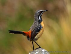 One of South Africa's most desired birds, the Drakensberg Rockjumper ~ Glen Valentine #SouthAfrica