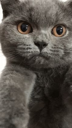 The Funniest Cat Moment - Beautiful Blue British Shorthair Kitten Nebelung Cat, Chartreux Cat, Grey Kitten, Kitten Gif, Blue Cats, Grey Cats, Most Beautiful Animals, Beautiful Cats, British Blue Cat