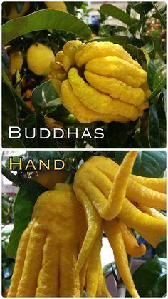 Buddhas Hand – so sieht sie also aus? Was es mit dieser eigenartigen Frucht aus China auf sich hat, hört Ihr hier: http://gartenradio.fm/sendungen/11-sendungen/55-blaubeeren-biobox-und-buddhas-hand