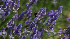 Bee in Flight Amongst Lavender.jpg by Peter England on 500px