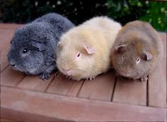 Three Guinea Pigs.
