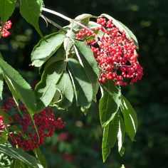 One of many native Ontario berries that should not be eaten. Pretty though.