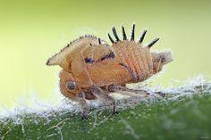 Ninfa de membracidae | Flickr – Condivisione di foto!