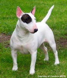Bull Terrier - Raças de Cães - Animais
