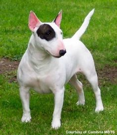 Bull Terrier #perro #dog #canino