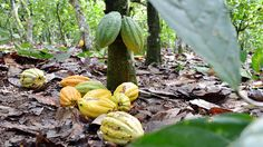 NPR Heating Up Cocoa pods in Ivory Coast, one of the world's top producers of cocoa. Climate models suggest that West Africa, where much of the world's cocoa is grown, will get dryer, which could affect supply.