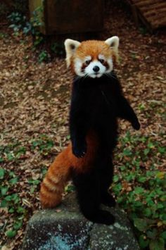 standing Red Panda, so cute!!