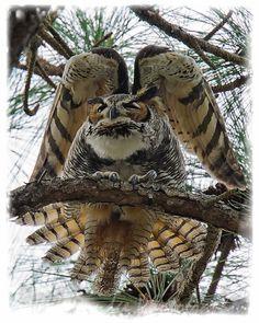 Amazing Owl plumage' photo by Derek Drudge