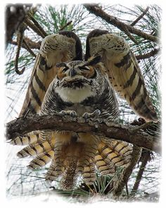 """This was my best shot of the day! I had to kneel on the ground for about 45 minutes waiting to finally get a decent shot of this beautiful Great Horned Owl. After an afternoon nap he woke up and stretched his wings making for a couple neat images."" ~ Derek Drudge"